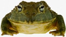 South African Burrowing Bullfrog
