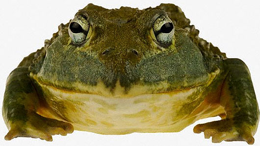 South African Burrowing Bullfrog