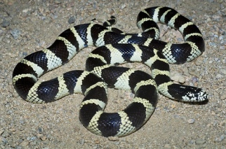 Californian King Snake